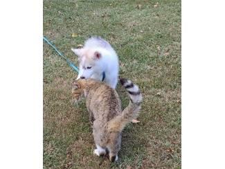 Siberian Husky PupS Te Koop