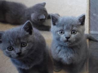 Grijze Britse korthaar kittens Geregistreerd