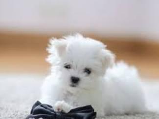 Maltese puppy voor een nieuw huis de pup is erg gezond en speels.