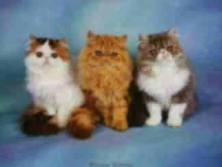 Perzische Poezen Poster Kitten Katten Poes Kat Kittens