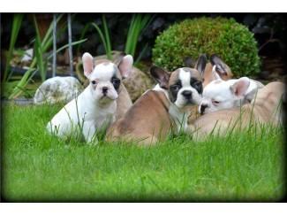 Mooie Franse Bulldog Puppies te koop.