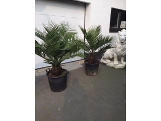 Prachtige vederpalm jubaea chilensis ±25cm