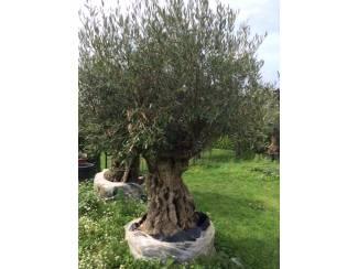 Olijfboom met mooie oude stam