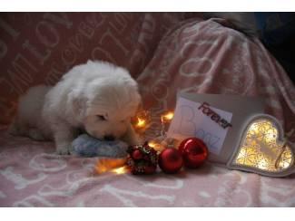 Honden en Puppy's Tatra pups met stamboom