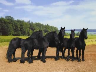 Poster Friese Paarden Paard