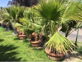 Deco schaal met super mooie groep palmbomen 5stuks Washingtonia