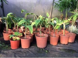 Diverse soorten banaanplanten