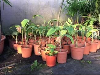 Bloemen en Planten Diverse soorten banaanplanten