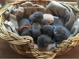 Prachtige Britse Korthaar Kittens